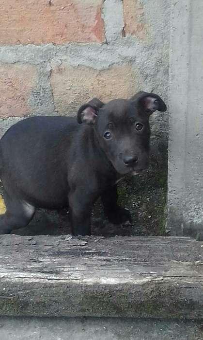 Venta de <strong>cachorro</strong>s Pitbull Estan Vacunad