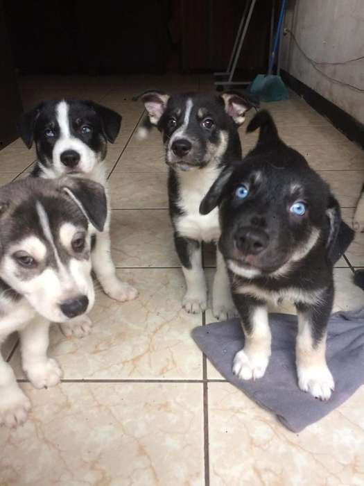 vendo semi huskey