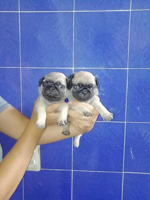 <strong>cachorro</strong>s Pug Carlinos Patas Cortas Mini