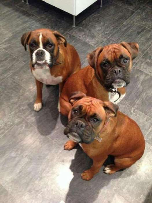 Cachorros <strong>boxer</strong> Machos Y Hembras