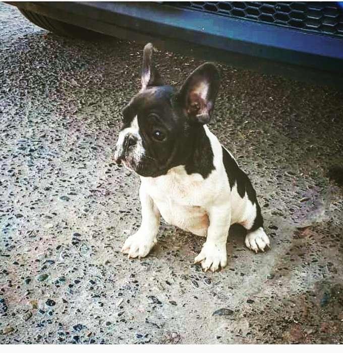 en Venta Hermoso Bulldog Frances