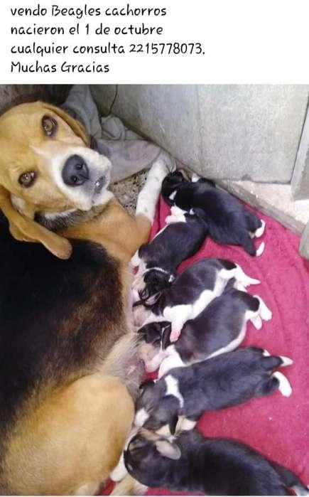 Cachorros <strong>beagle</strong>s