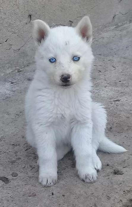 Husky siveriano albino c