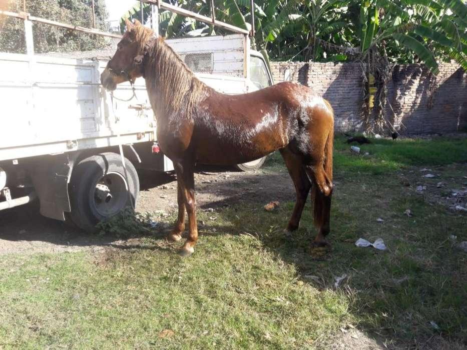 Yegua Peruana. Comunicarse 3816029849