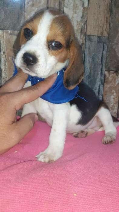 <strong>beagle</strong>s Enanos Julianchis
