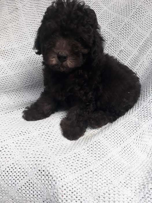 French Poodle Tacita Color Gris O Negro