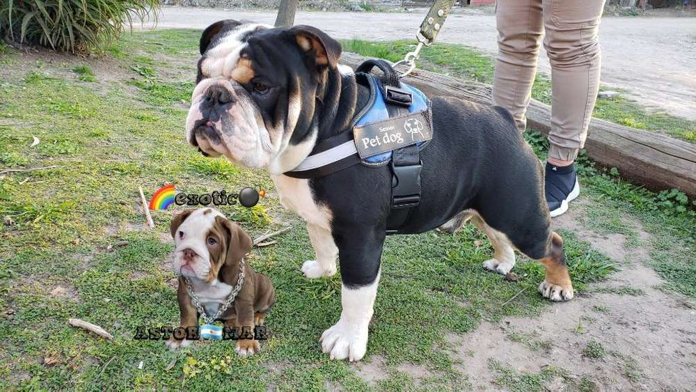 <strong>bulldog</strong> Ingles Black Tri Servicio Stud