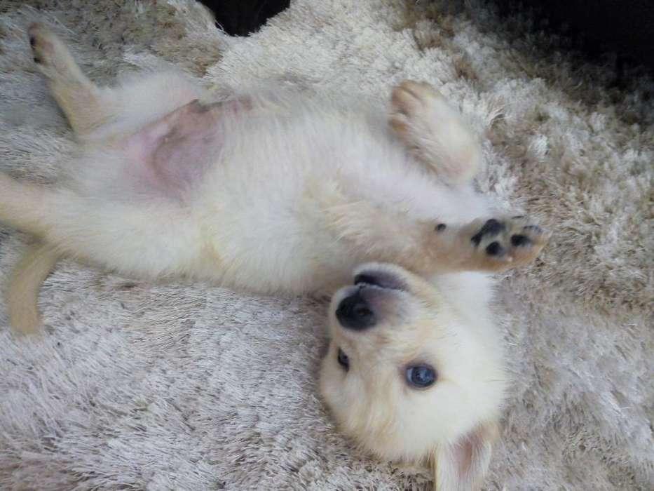 Hermosos Husky Siberiano vacunados