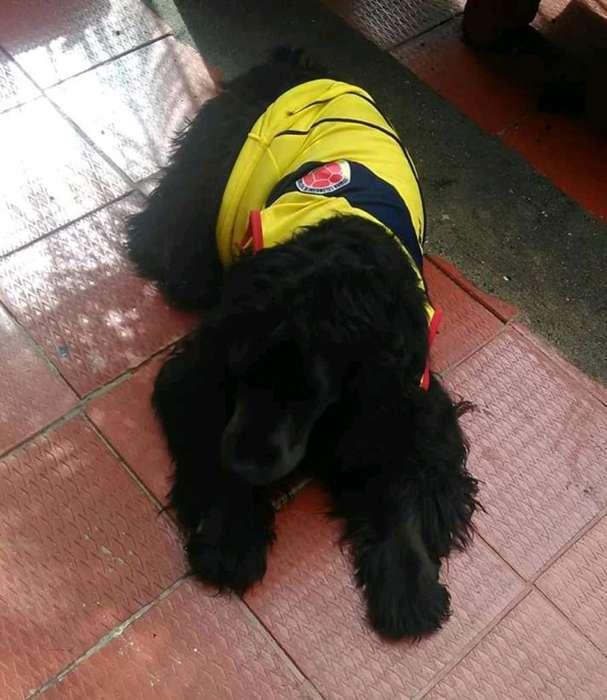 Busco Novia para <strong>perro</strong> Coker Negro