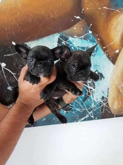 Muy Buenos Cachorros de Bulldog Francés
