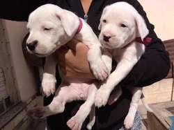 Cachorros Dogo Argentino