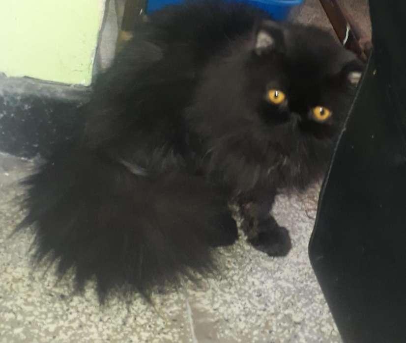 Vendo Hermoso Gato Persa Extremo