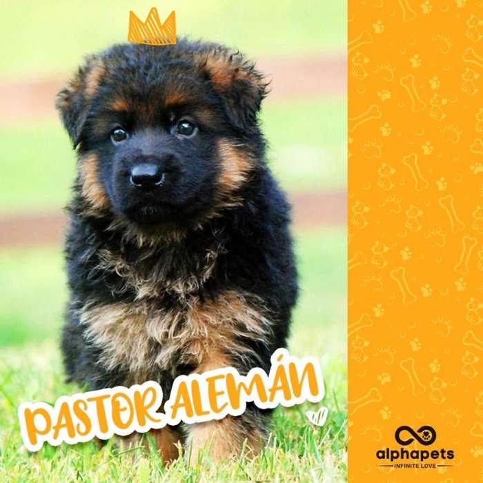 <strong>cachorro</strong>S PASTOR ALEMAN DEL MAS ALTO STANDARD GENÉTICO A1