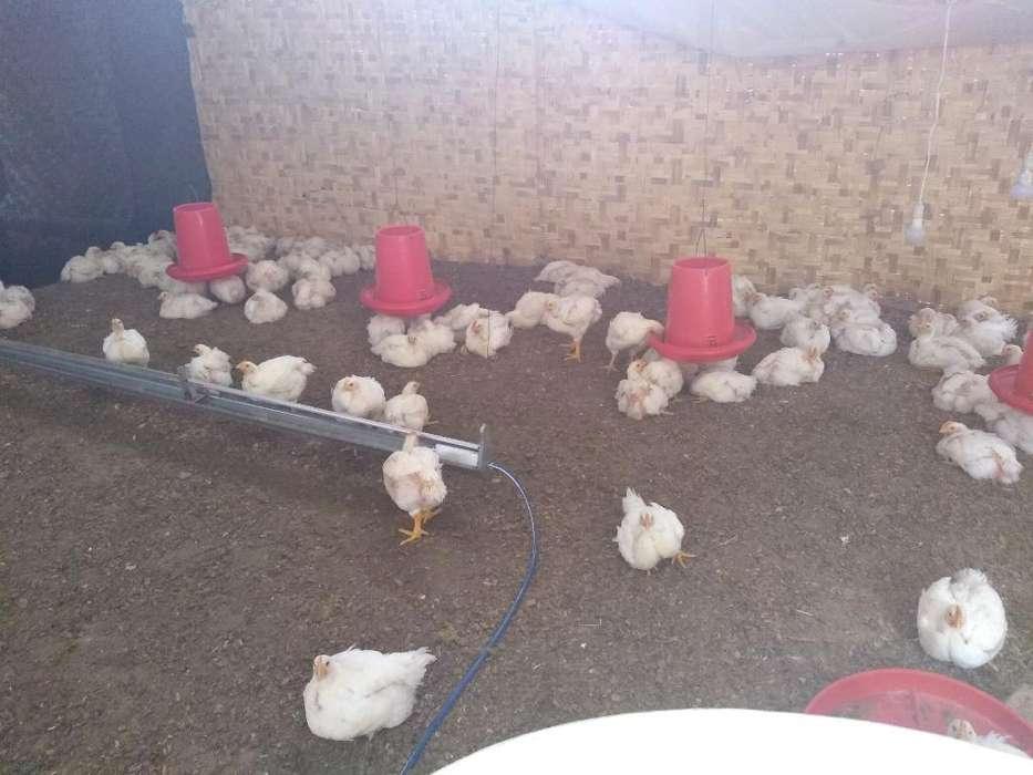 Venta de Pollos de Engorde
