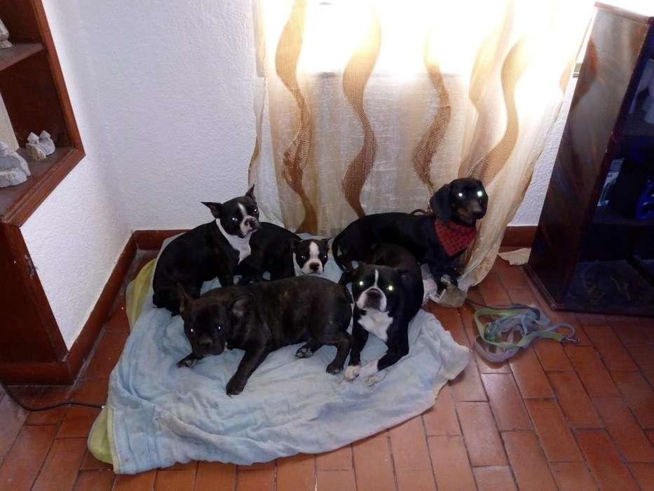 salto Boston terrier,BULLDOG FRANCES Y TEKELL ALEMAN O PERRO SALCHICHA DISPONIBLES PARA MONTA