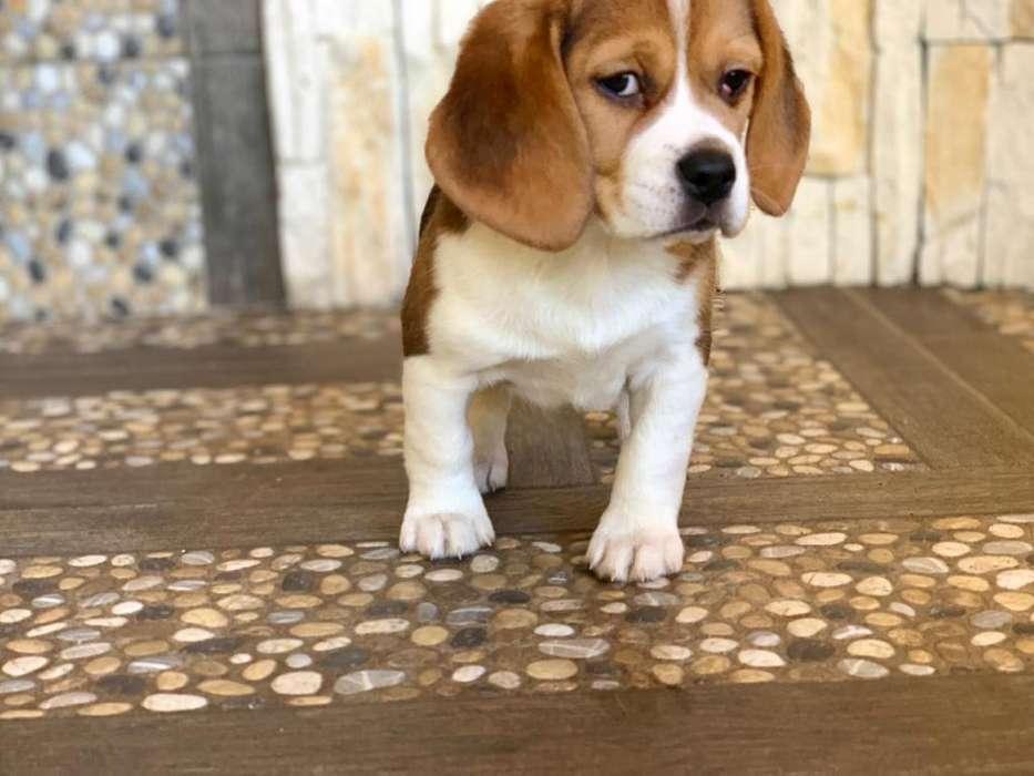 Perrita beagle