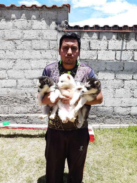 Husky <strong>cachorro</strong>