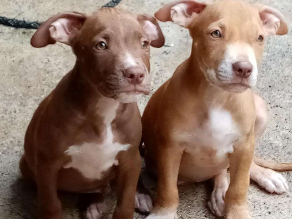Vendo Cachorros. Negociable