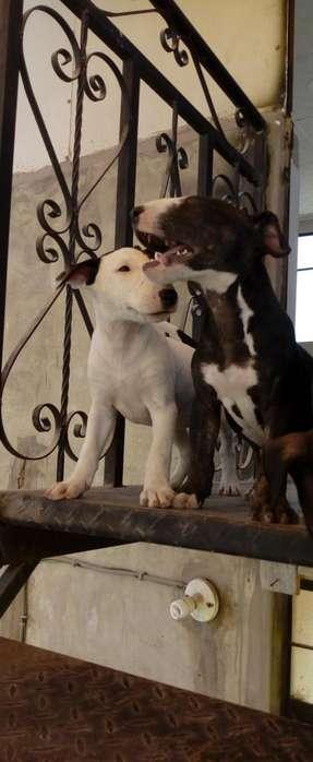 Se venden hermosos cachorros bull terries