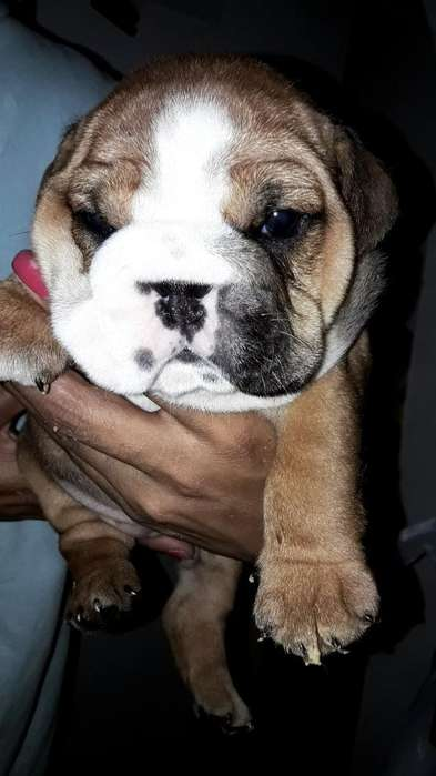 Hembras Bulldog Ingles Unicas Color Sabl