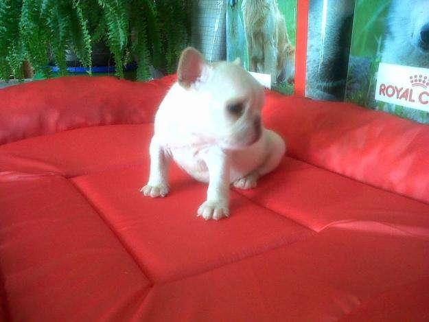 VENDO BULL DOG FRANCES