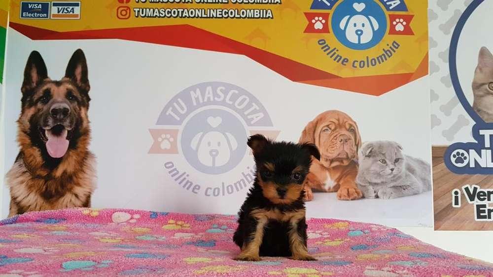 Amigable Yorkshire Terrier Tacita Mascota