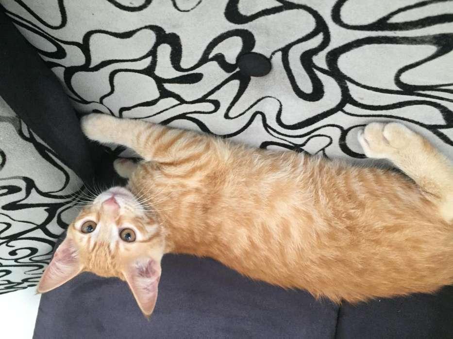 Lindo gatito macho en adopcin