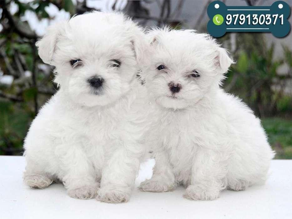 Cachorros Bichon Maltes Toy Ideal Para Departamento *Shitzu*Yorkshire*Yorki*Poodle*Pomerania*Frise
