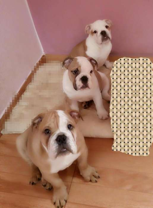 vendo <strong>cachorro</strong>s bulldog ingles hembra y macho