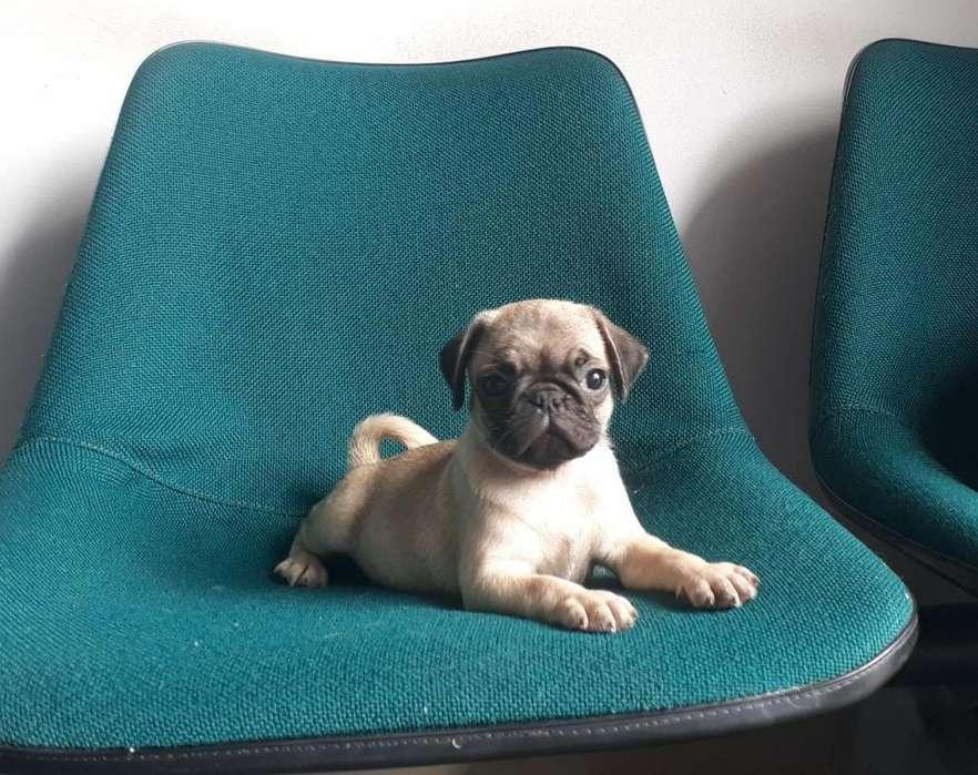 Espectacular Pug Carlino