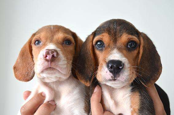 Beagle machos (papas pedigree)