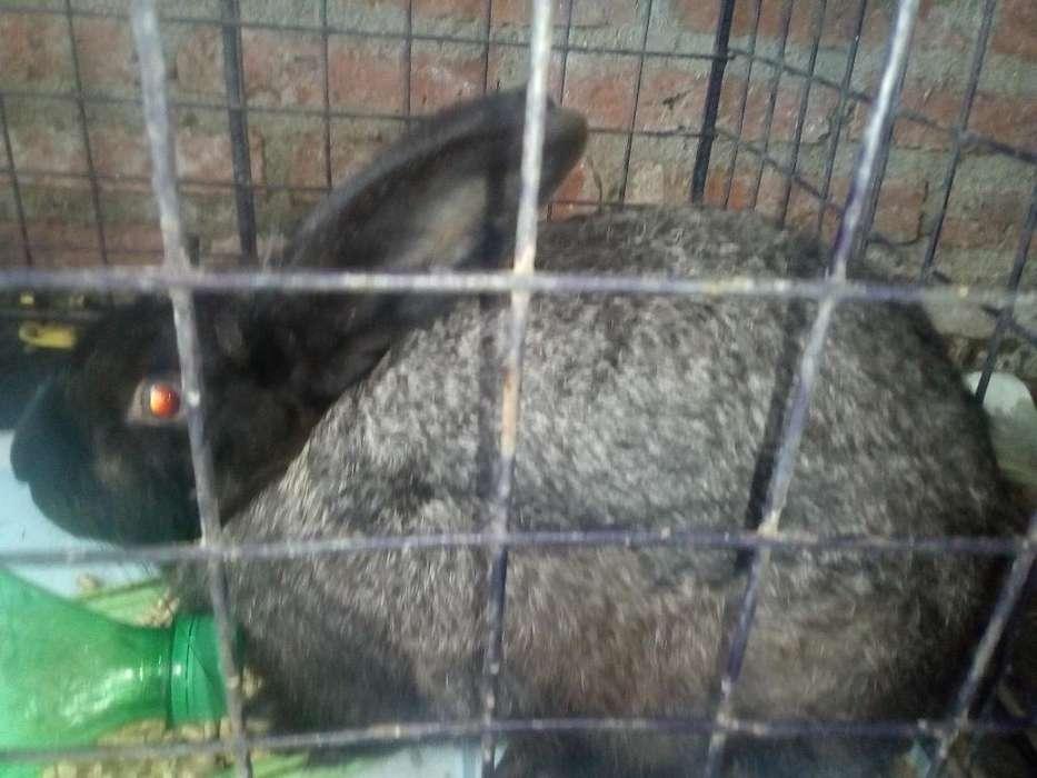 Vendo Conejo Embra de 4 Meses