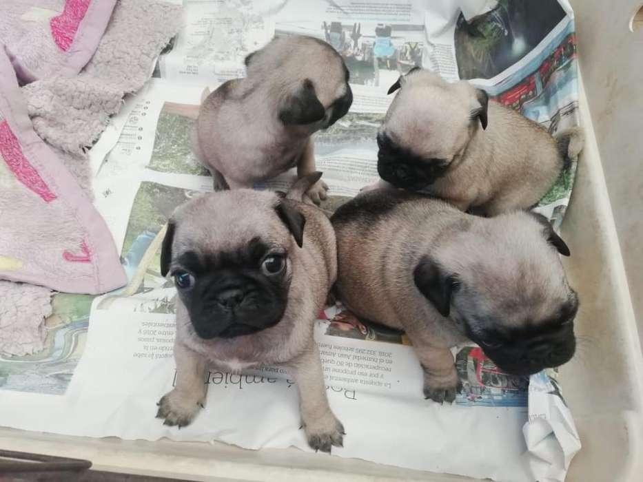 Destacados Cachorros Pug Carlinos
