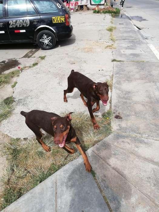 Se Vende Cachorros Doberman 6 Meses Hemb