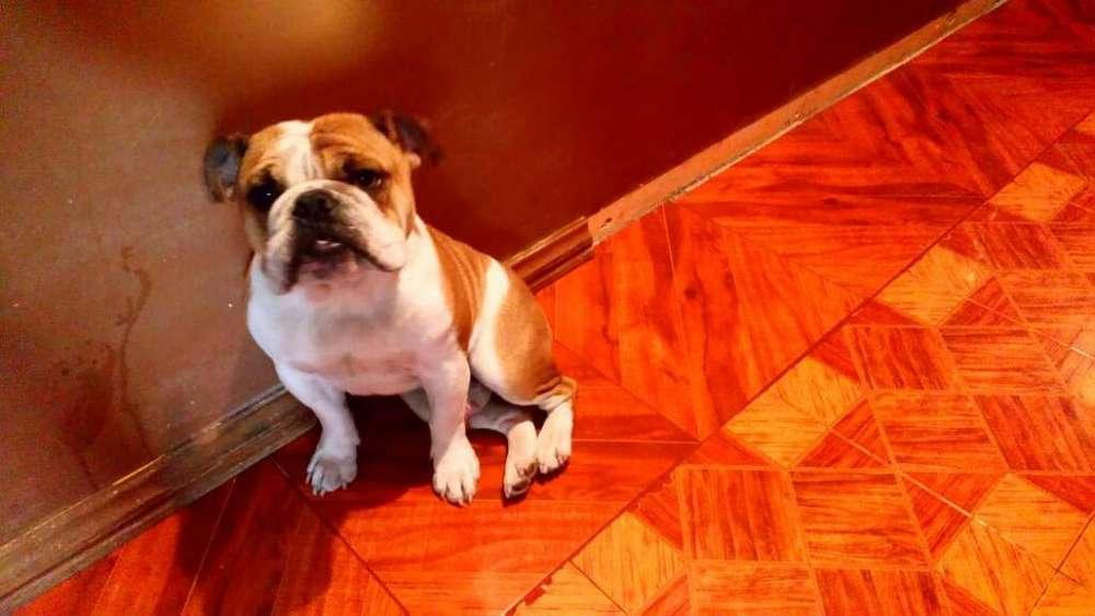 Vendo Perrito <strong>bulldog</strong> Ingles