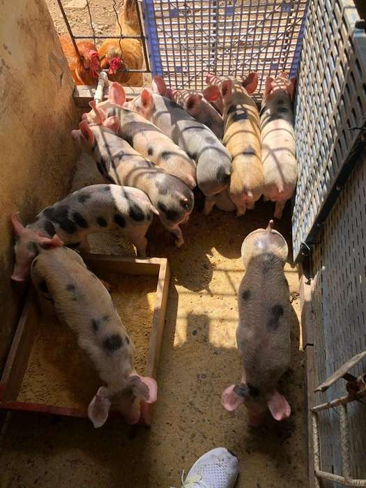 Venta de <strong>cerdo</strong>s Raza Landrace Y Pietran