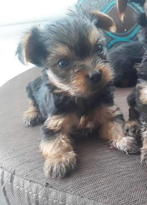 Tiernos y Hermosos Yorkshire <strong>terrier</strong> (mini)