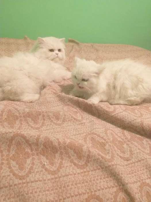 Gatos Persas Himalay 1 Mes