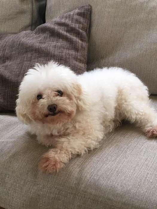 Busco Novio, Soy Una French Poodle