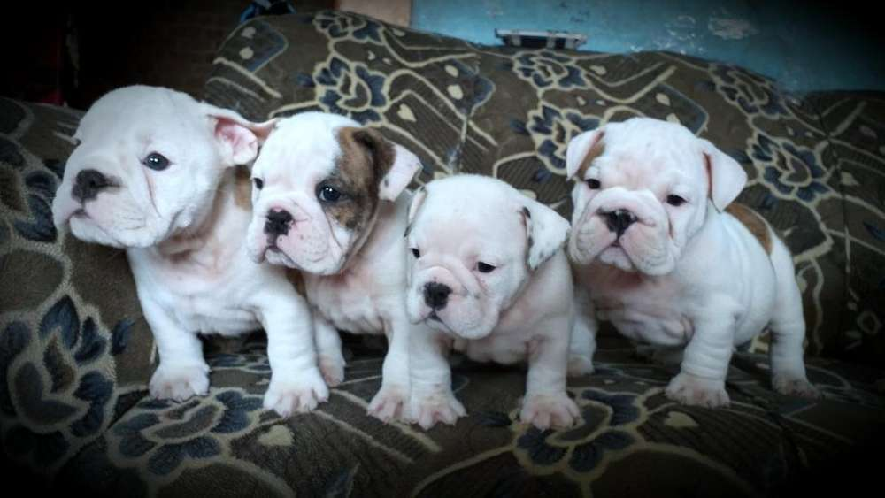 Bulldogs ingles