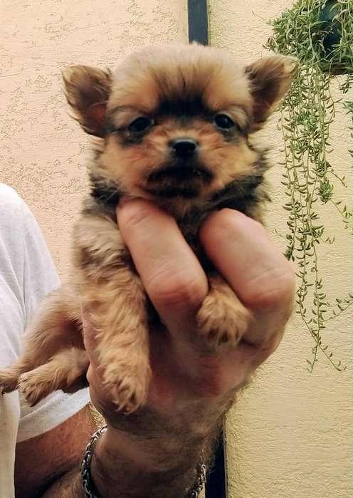 Hembra Chihuahua Pl