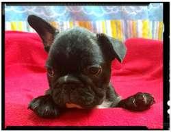 Bulldog  Frances  HEMBRAS AL 995476201