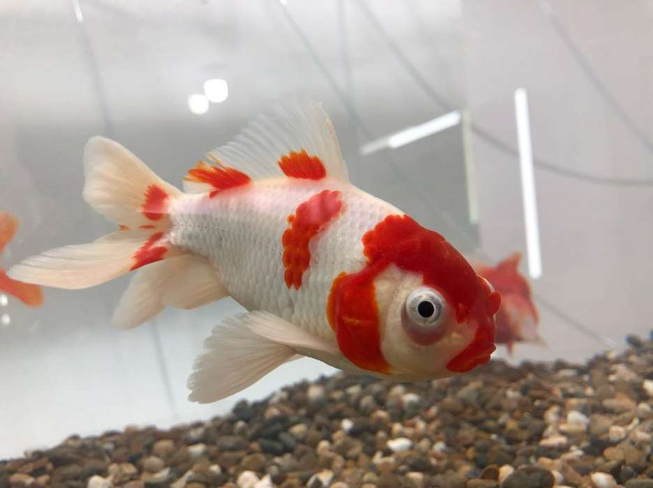 <strong>peces</strong> Golfish
