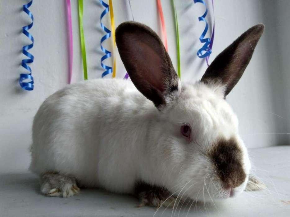 Conejos Rusos Bogotá 3224499925
