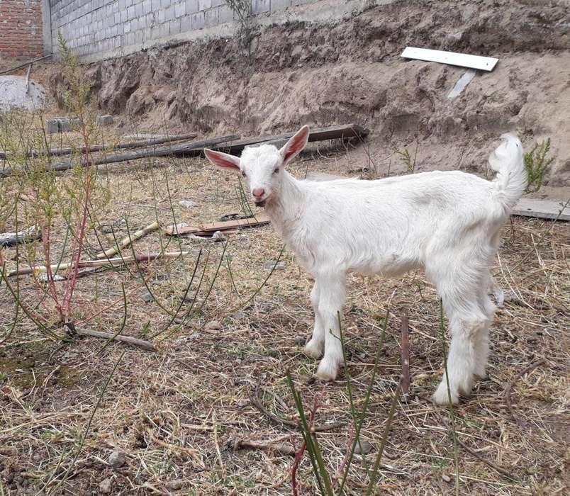 Cabras o Chivos Machos De Raza Saanen de 1 mes y medio