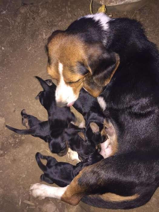 <strong>cachorro</strong>s de Beagle