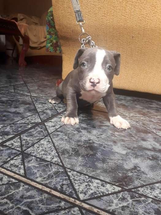 Cachorro Bully Es Blue
