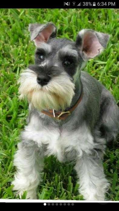 Se Vende <strong>cachorro</strong>s Eshnauser Miniatura