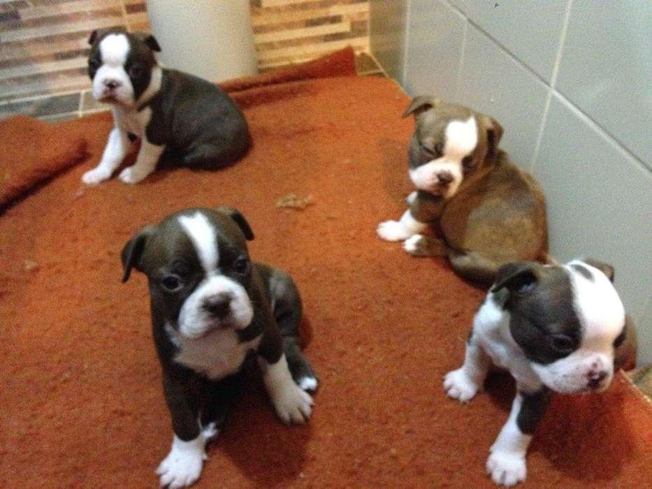 maravillosos ejemplares boston <strong>terrier</strong> rojo