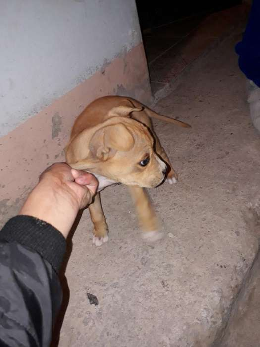 Ultimo Cachorro Pitbull Macho